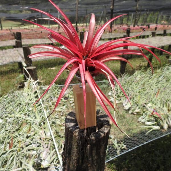 producto-brachycaulos-multiflora-madera-2